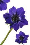 blå exotisk blommavallmo Arkivfoto