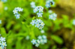 blå fältblomma wild blomma Blå hemslöjdblomma Arkivbild