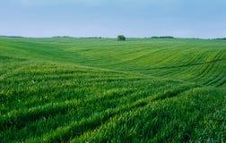 blå fältgreensky Arkivbilder