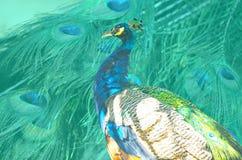 Blå färgpicock Arkivbild