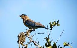Blå fågel Arkivfoto