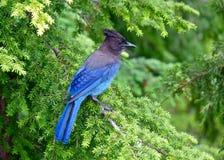 Blå fågel i träd Arkivfoton