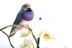 Blå fågel och med orkidén Arkivbild