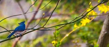 Blå fågel på en filial Fotografering för Bildbyråer