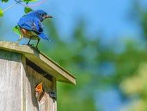 Blå fågel på en redeask med den öppna munfågelungen arkivfoto