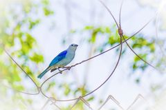 Blå fågel på en tråd Fotografering för Bildbyråer