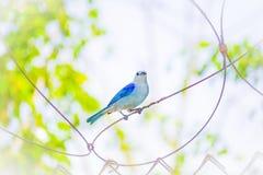 Blå fågel på taggtråd Arkivfoto