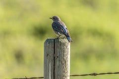 Blå fågelkvinnlig Arkivbilder