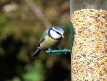 blå förlagemataretit för fågel arkivbilder