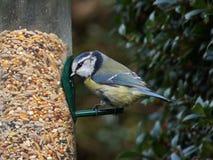 blå förlagemataretit för fågel arkivbild