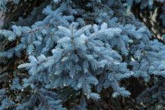 blå filialspruce arkivbild