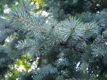 blå filialspruce Royaltyfria Foton