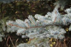 blå filialspruce Fotografering för Bildbyråer