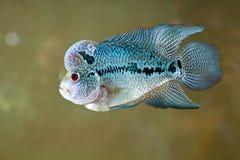 blå fisk Arkivfoto
