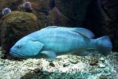 blå fisk Royaltyfri Bild