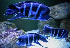Blå fisk i ett akvarium Arkivfoton