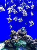 blå fisk i marin- museum Fotografering för Bildbyråer