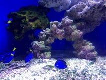 blå fisk i marin- museum Royaltyfria Foton
