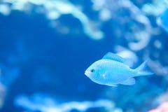 Blå fisk på akvariet av det Stillahavs- i Long Beach Arkivfoton