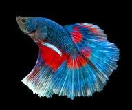 blå fiskred för betta Royaltyfria Bilder