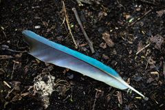 Blå fjäder av en motmotfågel som ligger på jorden arkivbilder