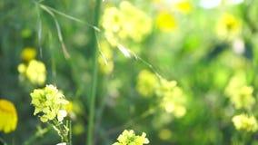 blå fjäder för sky för fältgräsgreen Maskrosen blommar closeupen mot solnedgånghimmel lager videofilmer