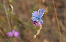 blå fjäril Royaltyfria Bilder