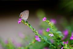 Blå fjäril för Cycad i trädgården Royaltyfri Foto