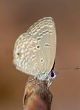 Blå fjäril för gram Royaltyfri Foto