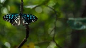 Blå fjäril i skog Arkivbilder