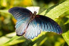 Blå fjäril i trädgården, Chiangmai Arkivbilder