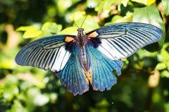 Blå fjäril i trädgården, Chiangmai Royaltyfria Foton
