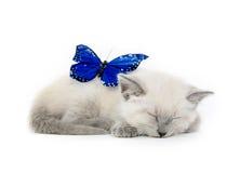 Blå fjäril och kattunge royaltyfri foto