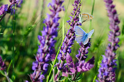 Blå fjäril på blomman Royaltyfri Bild