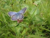 Blå fjäril på gräset Royaltyfri Foto