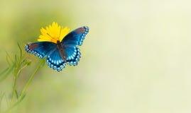 Blå fjäril på gul blomma Fotografering för Bildbyråer