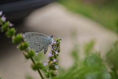 Blå fjäril på lavendelblomningblomman Royaltyfri Fotografi