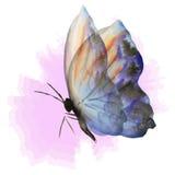Blå fjäril på rosa färger Fotografering för Bildbyråer