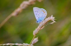 Blå fjäril som vilar på gräset Fotografering för Bildbyråer