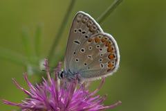 blå fjärilscloseupcommon royaltyfria foton
