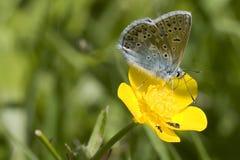 blå fjärilscommon Arkivfoto