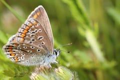 blå fjärilscommon Royaltyfri Fotografi