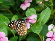 blå fjärilsexponeringsglastiger Fotografering för Bildbyråer