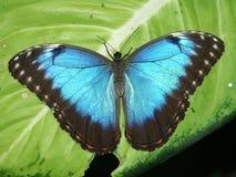 blå fjärilsmorpho Arkivbild