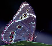 blå fjärilsmorpho royaltyfri bild