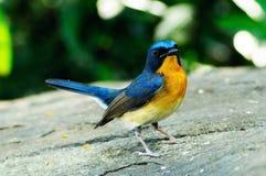 Blå flugsnappare för kulle Arkivfoto