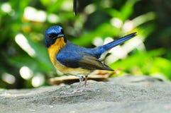 Blå flugsnappare för kulle Royaltyfri Bild
