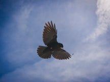 blå flygsky för alpin blackbird Royaltyfria Bilder