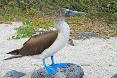 Blå Footed Booby Royaltyfri Fotografi