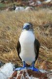 Blå Footed Booby Royaltyfri Fotografi